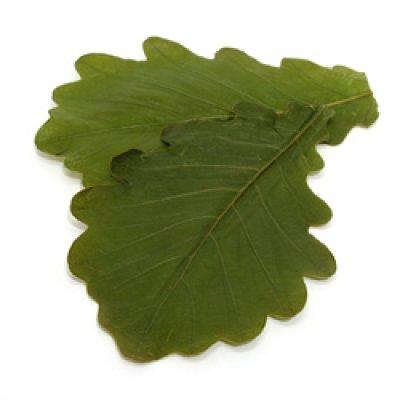 画像1: 柏の葉(塩漬け) 50枚